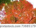 Autumn colored maples 73665179