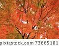 Autumn colored maples 73665181