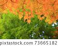 Autumn colored maples 73665182
