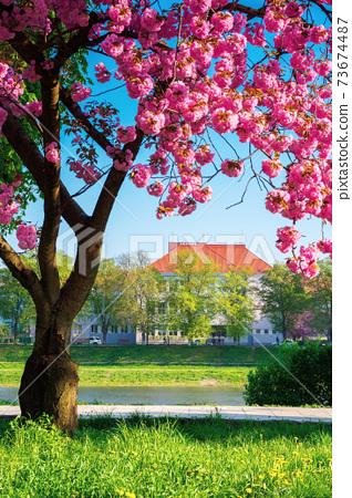 cherry blossom by the river. beautiful sunny morning on the kyiv embankment in uzhgorod. pink sakura flowers in morning light. popular travel destination of ukraine 73674487
