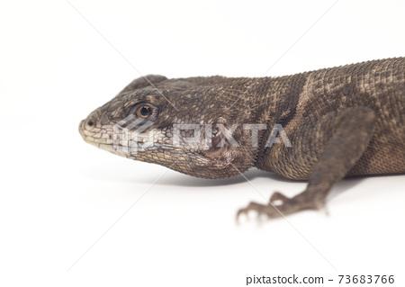 European Lizard 73683766