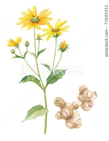 菊草菊草花和莖 73685052