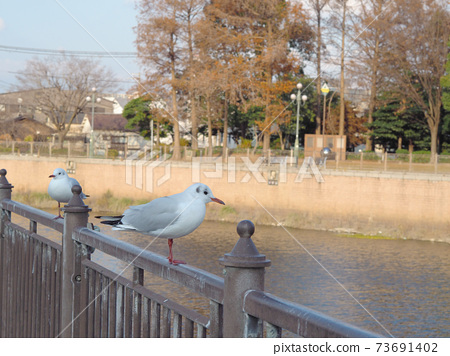 Black-headed gull on the Shoge River in front of Hanshin Amagasaki Station 73691402