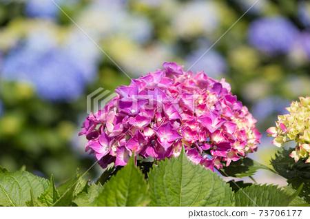繡球花,花季,花園,觀賞,陽明山,竹子湖 73706177