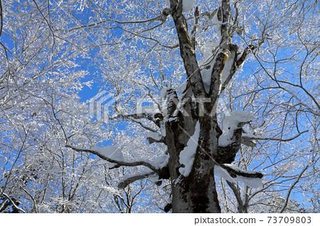 엄동의 너도밤 나무 숲의 눈을 실은 고목 나무 꼭대기 푸른 하늘에 빛나는 눈화장 - 치유의 숲 후쿠시마 현 다다미 마치 73709803