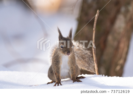在四國山脈的雪山中出現的日本松鼠02 73712619