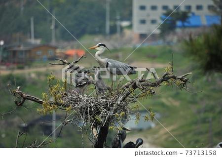 鳥,鳥,單頭,白鷺 73713158