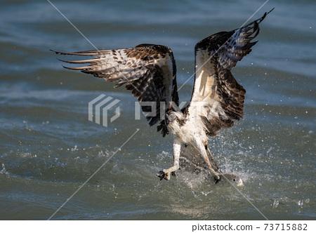 Osprey Fishing in Florida  73715882