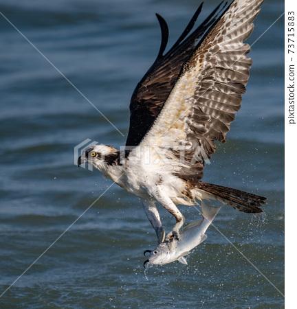 Osprey Fishing in Florida  73715883