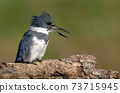 Belted Kingfisher Portrait  73715945