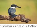 Belted Kingfisher Portrait  73715947