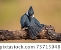 Belted Kingfisher Portrait  73715948