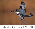 Belted Kingfisher Portrait  73716003