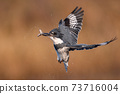 Belted Kingfisher Portrait  73716004
