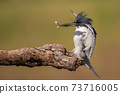 Belted Kingfisher Portrait  73716005