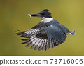 Belted Kingfisher Portrait  73716006