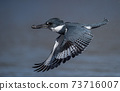 Belted Kingfisher Portrait  73716007