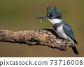 Belted Kingfisher Portrait  73716008