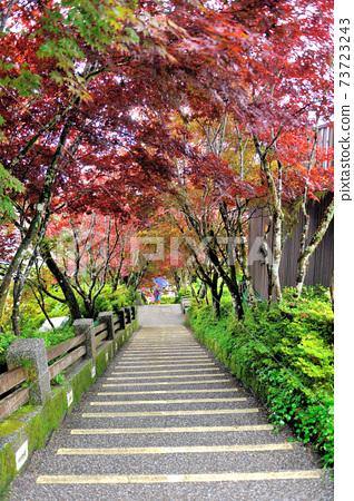 紫葉槭,槭樹,階梯,多彩的,楓樹,楓紅,葉子 73723243