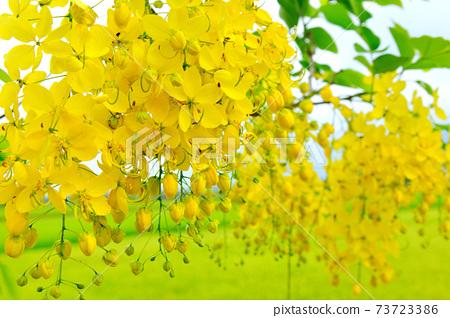 農村景色,阿勃勒,樹,花,農田 73723386