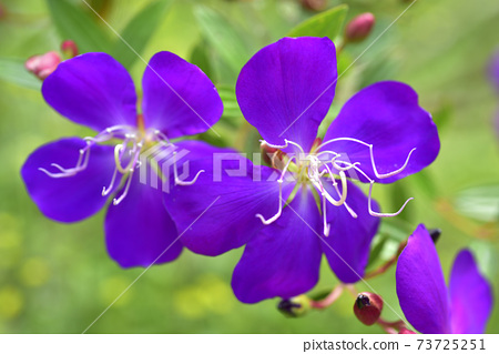 野牡丹,花,開花 73725251
