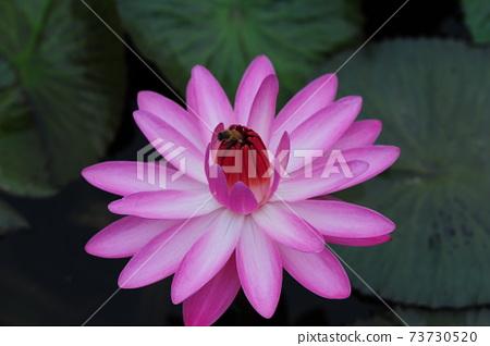 수련.핑크색.꽃  73730520