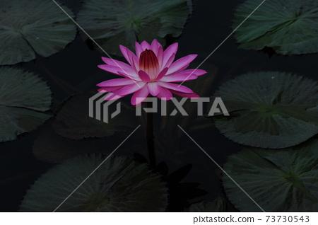 수련.핑크색.꽃  73730543