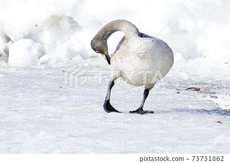 Winter snow scene swan 73731862