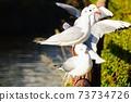 棲息在木柵欄或海鷗群上 73734726
