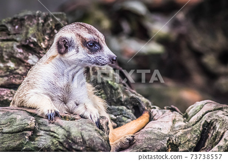 Cute meerkat suricata looking with curiousness on tree. Close-up Animal in nature wildlife. 73738557