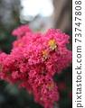 皺桃金孃花粉紅色盛開 73747808
