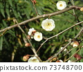White flowers of weeping plums that have begun to bloom 73748700