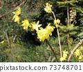 Transparent yellow flower Japanese allspice in full bloom 73748701
