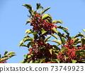 Kegomigawa Beach Kaganemechi with red fruit on coastal street 73749923