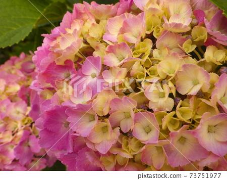 粉色繡球花(兩個輪子)的特寫鏡頭 73751977