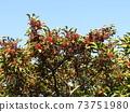 Kegomigawa Beach Kaganemechi with red fruit on coastal street 73751980