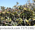 Rhaphiolepis berries that have become ripe and black-purple 73751982
