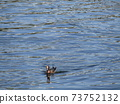 Wigeon swimming at the mouth of the Hanami River 73752132