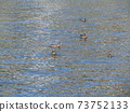 Wigeon swimming at the mouth of the Hanami River 73752133