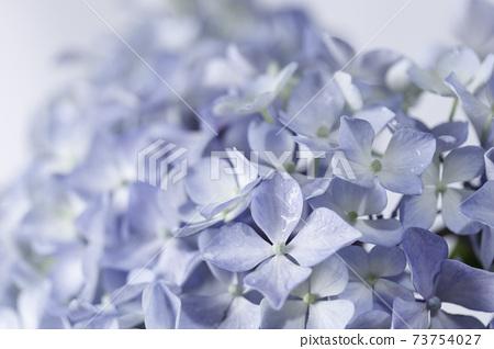 비 방울 젖은 파란 수국 꽃 73754027