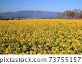 나기사 공원의 유채 꽃과 히라 산맥 [시가현 모리야마시] 73755157