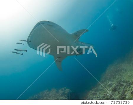 幼鯨鯊在珊瑚礁中游泳(緬甸墨吉群島) 73755739