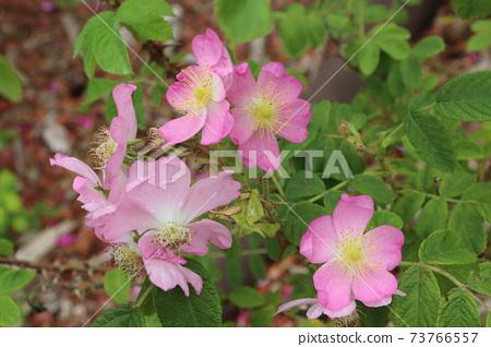 일명 코하마나스 분홍색 귀여운 장미, 이와라 iwara 73766557