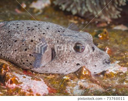 躺在一塊岩石上的黑點河豚(緬甸梅爾吉群島) 73768011