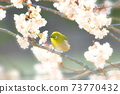 벚꽃과 동박새 73770432