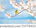 벚꽃과 동박새 73770433