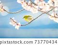 벚꽃과 동박새 73770434