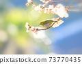 벚꽃과 동박새 73770435