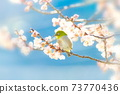 벚꽃과 동박새 73770436