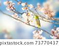 벚꽃과 동박새 73770437